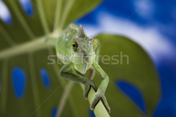 Chameleon Błękitne niebo krzyż tle portret zwierząt Zdjęcia stock © JanPietruszka