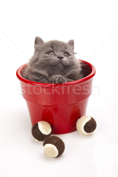 Small gray kitten, cute pet colorful theme Stock photo © JanPietruszka