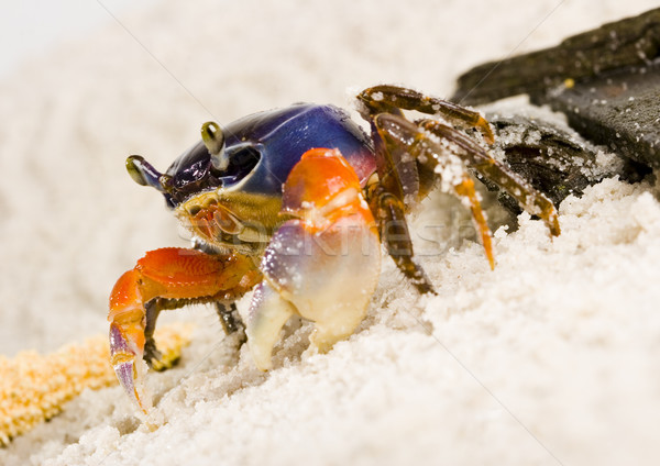 Crab on the sand, colorful animal concept Stock photo © JanPietruszka