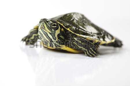Tartaruga piedi bianco testa pattern animale Foto d'archivio © JanPietruszka