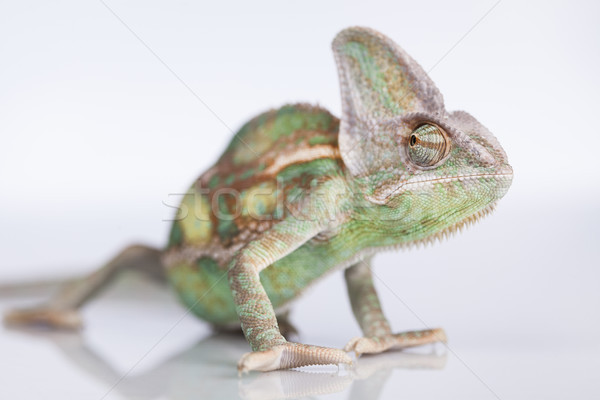 Chameleon lizard isolated on white background Stock photo © JanPietruszka