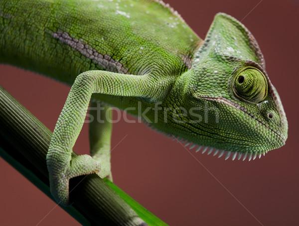 Camaleón cruz fondo retrato animales funny Foto stock © JanPietruszka