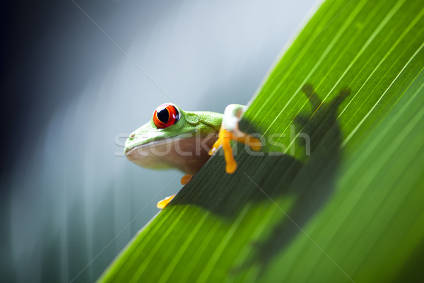 Piros szem levelibéka természet béka trópusi Stock fotó © JanPietruszka