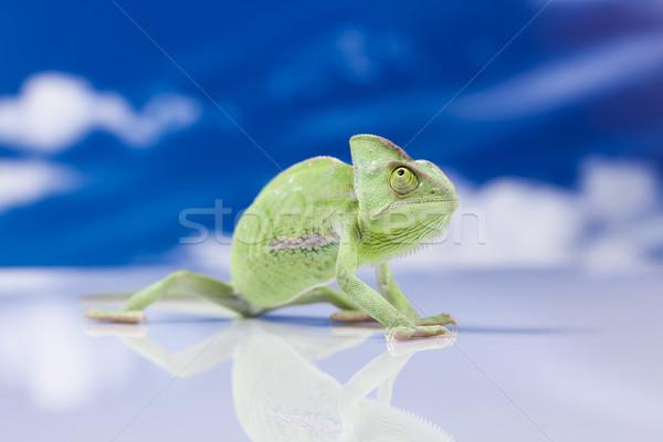Foto stock: Camaleão · blue · sky · atravessar · fundo · retrato · animais