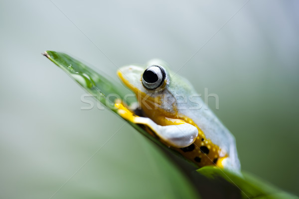 Exotic frog in indonesia, Rhacophorus reinwardtii  Stock photo © JanPietruszka