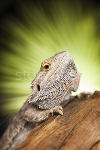 Dragon, Agama Lizard on black mirror background Stock photo © JanPietruszka