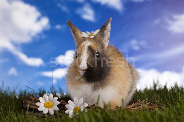 Spring baby bunny and green grass Stock photo © JanPietruszka