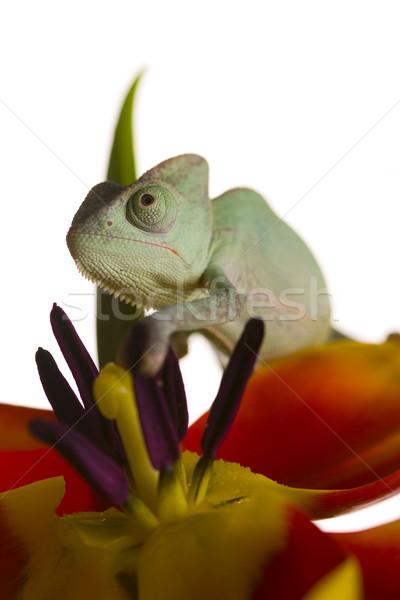 Chameleon, bright vivid exotic climate Stock photo © JanPietruszka