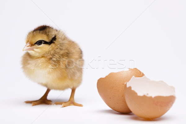 Pintinho ovo páscoa bebê pássaro frango Foto stock © JanPietruszka
