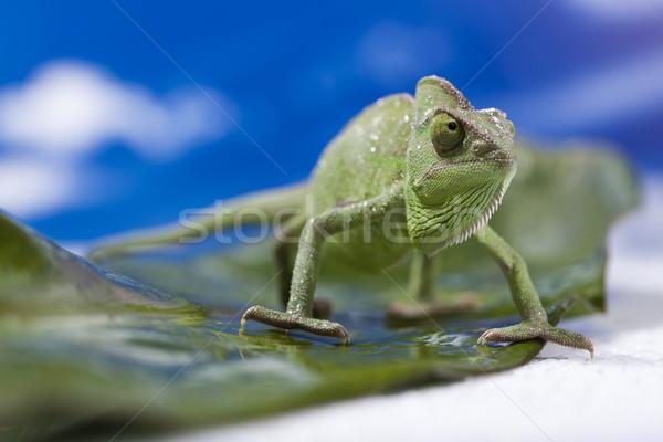 Chameleon on the blue sky Stock photo © JanPietruszka
