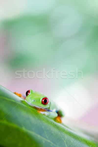 Piros szem levelibéka levél színes béka Stock fotó © JanPietruszka