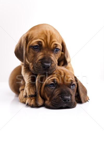 Baby cani piccolo cane giovani tristezza Foto d'archivio © JanPietruszka