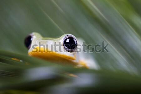 Exotisch kikker Indonesië groene tropische dier Stockfoto © JanPietruszka