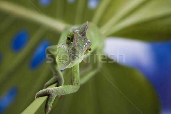 Chameleon krzyż tle portret zwierząt funny Zdjęcia stock © JanPietruszka