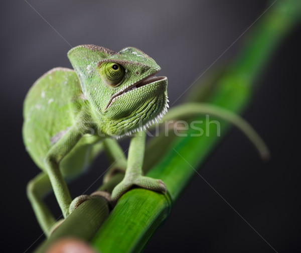 Lizard families, Chameleon Stock photo © JanPietruszka