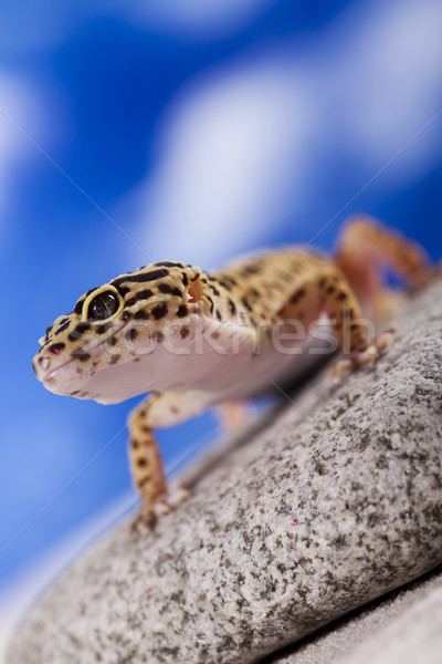 Stock photo: Gecko reptile, Lizard