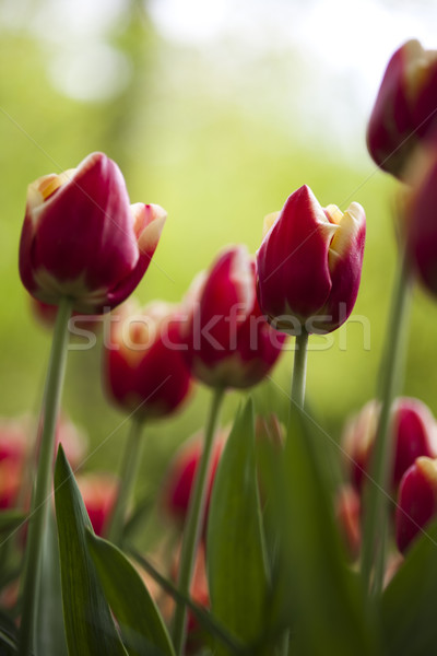 Multi colored tulips, spring colorful vivid theme Stock photo © JanPietruszka