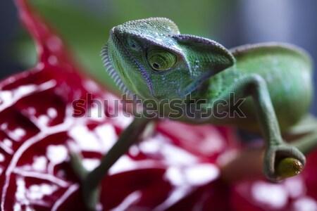 Verde animal camaleão atravessar fundo retrato Foto stock © JanPietruszka