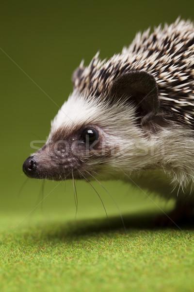Egel baby jonge dier studio naald Stockfoto © JanPietruszka