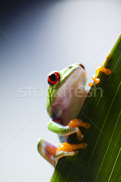 Levelibéka természet piros béka trópusi díszállat Stock fotó © JanPietruszka