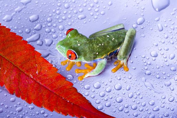 Piros szem levelibéka színes természet béka Stock fotó © JanPietruszka