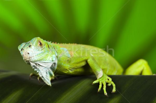 Close-up on a iguana, bright colorful vivid theme Stock photo © JanPietruszka