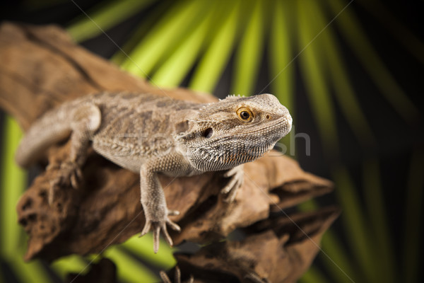 Root Bearded Dragon, Agama Lizard on black mirror background Stock photo © JanPietruszka