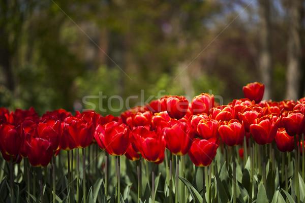 Jardín flor tulipanes frescos hermosa cielo Foto stock © JanPietruszka