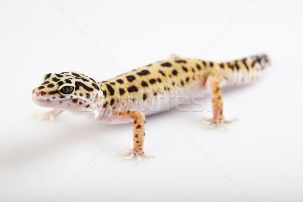ヤモリ 明るい カラフル 白 動物 ストックフォト © JanPietruszka