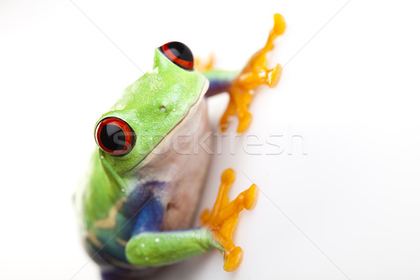 Crazy frog, funny bright tone concept Stock photo © JanPietruszka