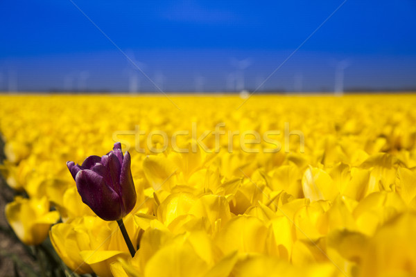 Windmill and colorful tulips in spring of flowers Stock photo © JanPietruszka