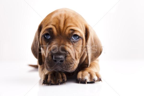 子犬 犬 赤ちゃん 犬 小さな ストックフォト © JanPietruszka