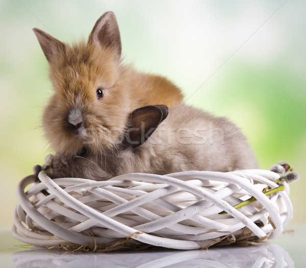 Baby bunny  Stock photo © JanPietruszka
