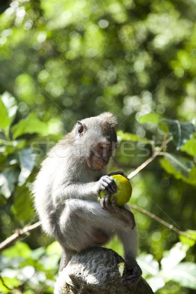 Monkeys, Bali Island, Indonesia, bright colorful vivid theme Stock photo © JanPietruszka