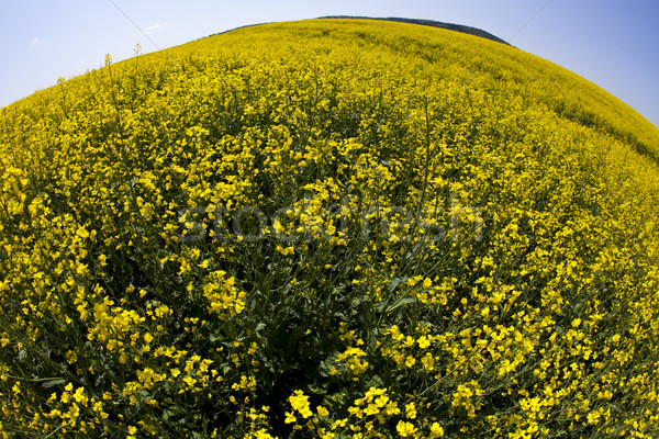 Canola, springtime vivid rural concept Stock photo © JanPietruszka