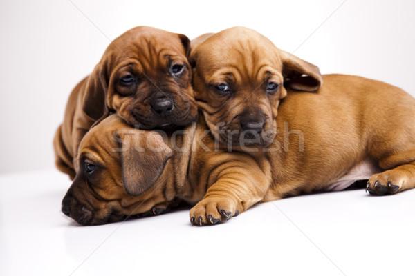 álmos kutyakölyök kicsi kutya baba kutyák Stock fotó © JanPietruszka