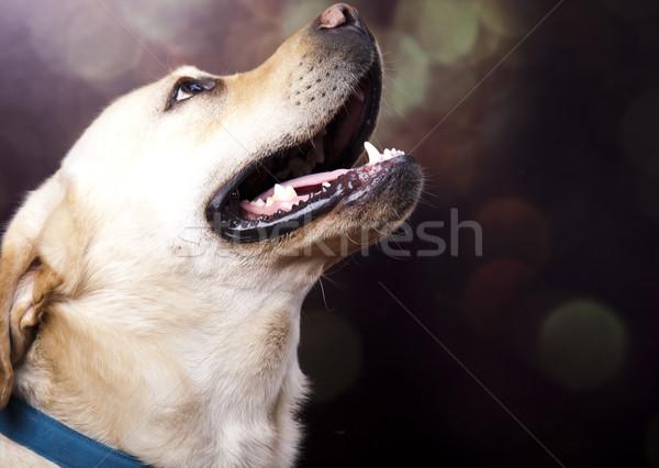 Stockfoto: Hond · labrador · retriever · gezicht · portret · dier · puppy