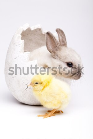 Happy Easter, Chickens in bunny Stock photo © JanPietruszka