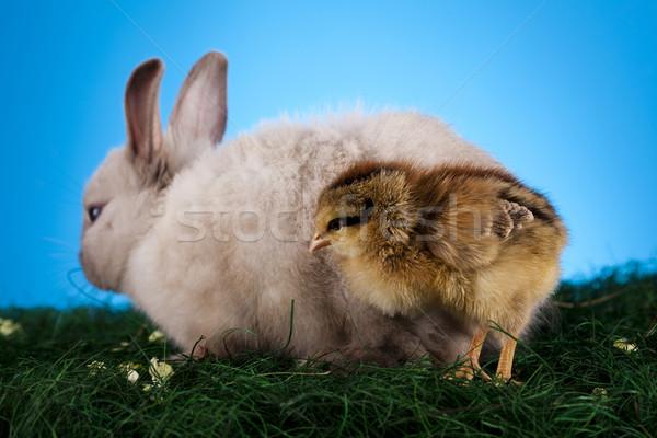 Civciv tavşan Paskalya bebek kuş tavuk Stok fotoğraf © JanPietruszka