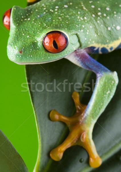 Béka dzsungel színes természet piros trópusi Stock fotó © JanPietruszka