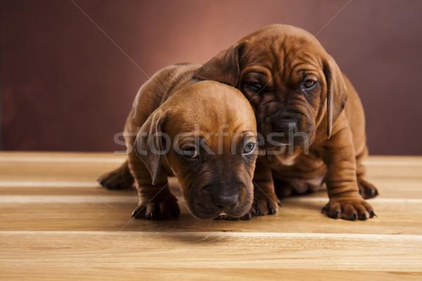 Kiskutyák kicsi kutya baba kutyák fiatal Stock fotó © JanPietruszka