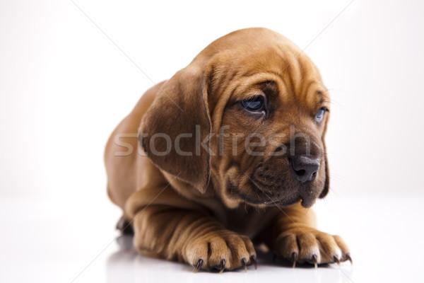 Cane piccolo baby cani giovani tristezza Foto d'archivio © JanPietruszka
