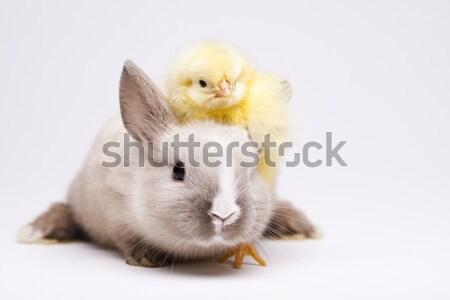 赤ちゃん ひよこ イースター 鳥 鶏 羽毛 ストックフォト © JanPietruszka