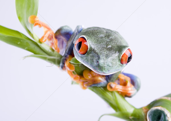 Stock photo: Red eye tree frog on colorful background
