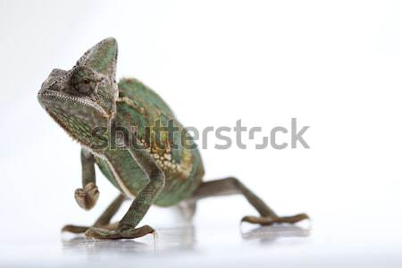 Chameleon, bright vivid exotic climate Stock photo © JanPietruszka