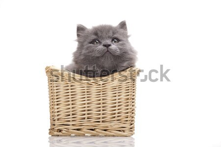 British little kitten, cute pet colorful theme Stock photo © JanPietruszka