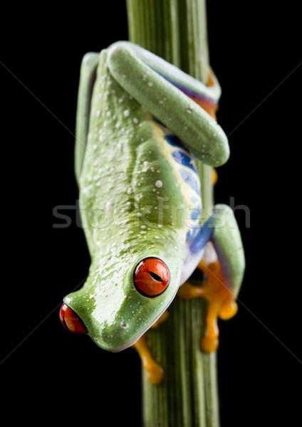 Stockfoto: Exotisch · kikker · kleurrijk · natuur · Rood · tropische