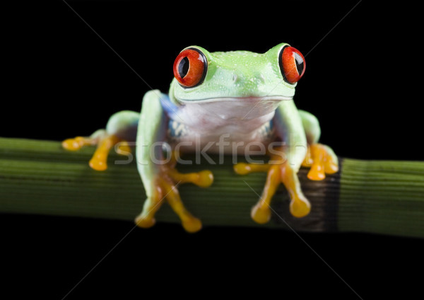 Exotic frog on colorful background Stock photo © JanPietruszka