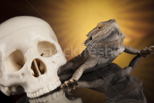 Skull, Agama bearded, lizard background    Stock photo © JanPietruszka