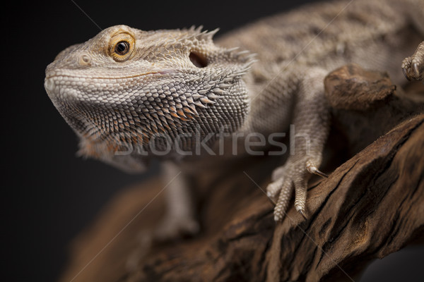Pet, lizard Bearded Dragon on black background Stock photo © JanPietruszka